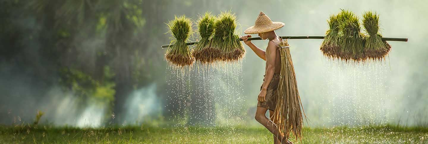 Farmers grow rice in the rainy season. they were soaked with water and mud to be prepared for planting