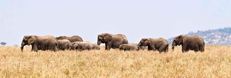 Elephants in serengeti national park, tanzania