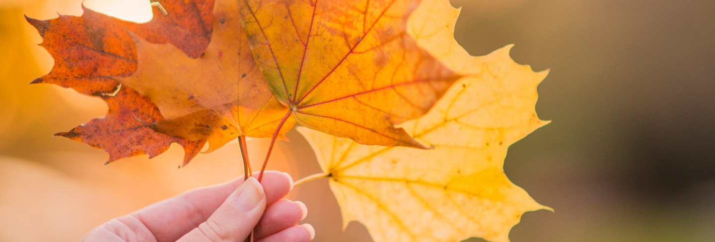 Hand holding yellow maple leaves on autumn sunny background. hand holding yellow maple leaf a blurred autumn trees background.autumn concept.selective focus