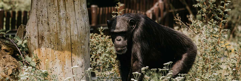 Mountain gorilla. forest national park in uganda