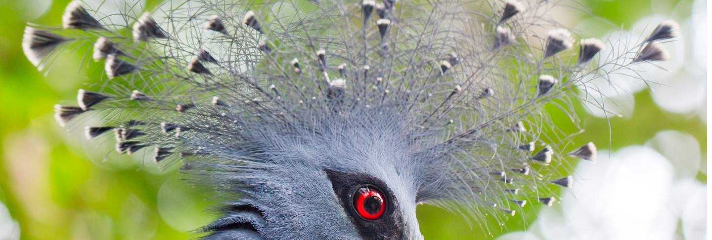 Victoria crowned pigeon (goura victoria) close up