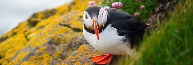 Wild atlantic puffin seabird in the auk family