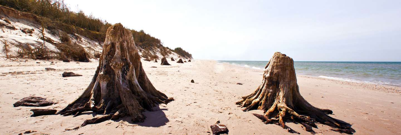 Dead tree trunks in slowinski national park
