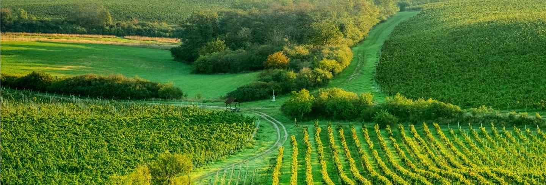 Sunshine grapes plantation