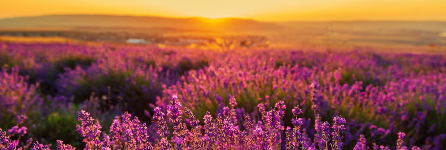 Lavender field at sunset. great summer landscape