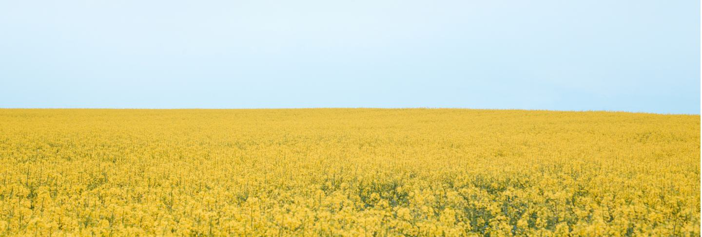 Blooming rapeseed fields photographed in cloudy weather in the villages of denmark