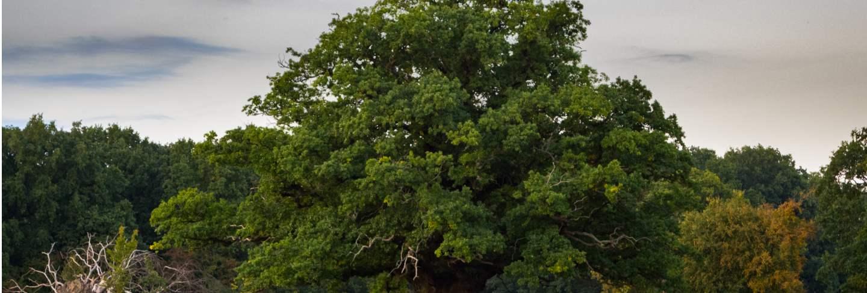 Big, old oak tree with a deer herd under, zealand