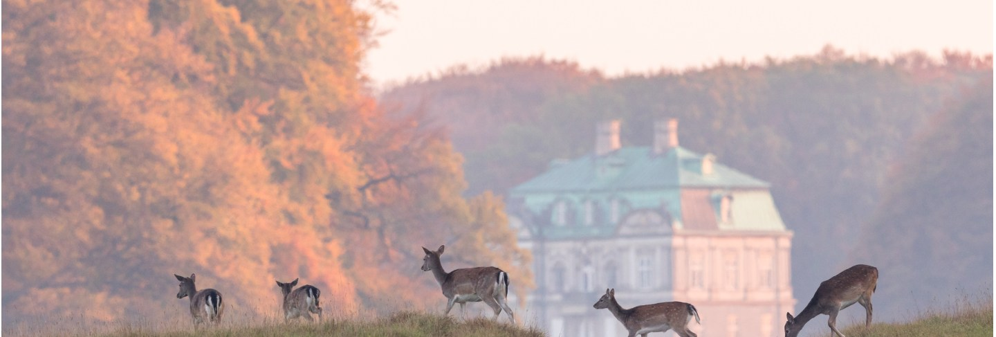 Fallow deer, dama dama, females and fawns crossing the dirt road in dyrehave, denmark