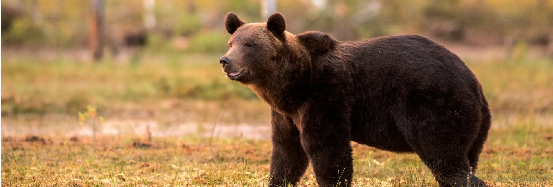 Brown bear walking in beautiful evening light