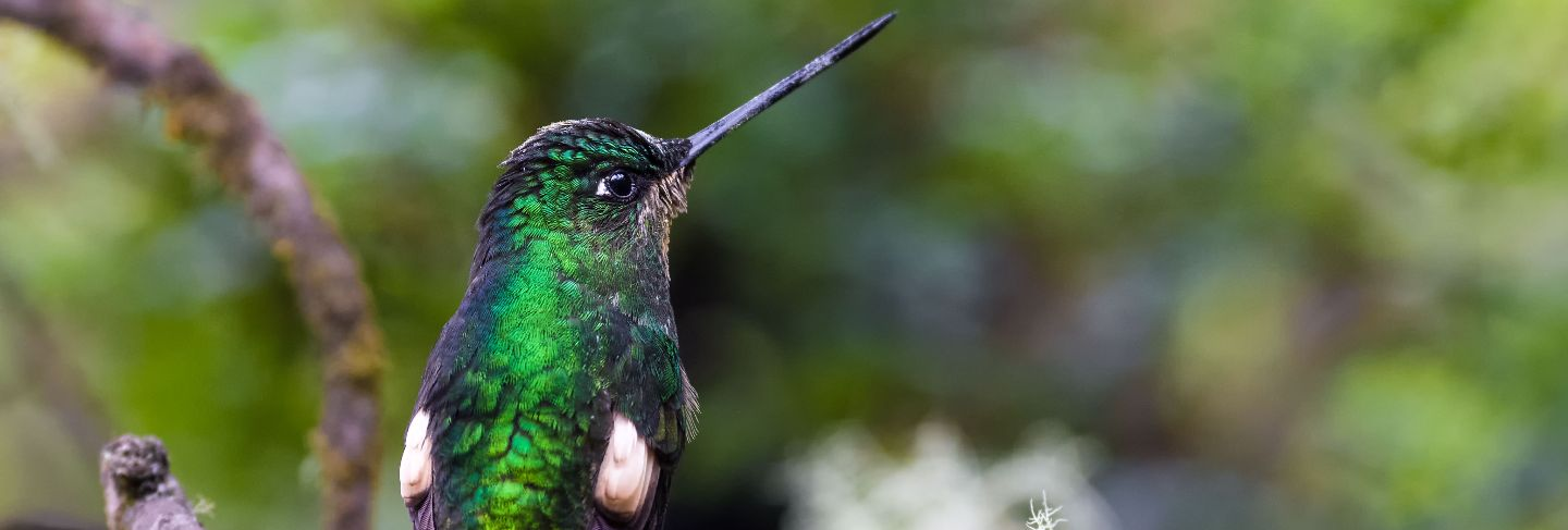 Hummingbird turning its back on a branch