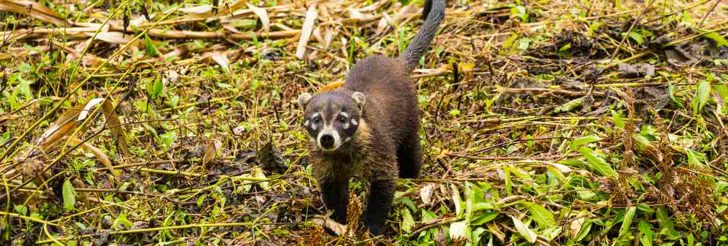 White-nosed coati in rainforest looking at camera