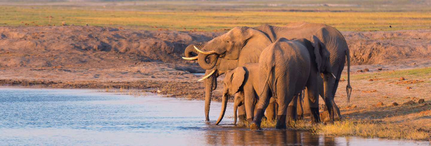 Group of african elephants drinking water from chobe river at sunset. wildlife safari and boat cruise in the chobe national park, Namibia Botswana border