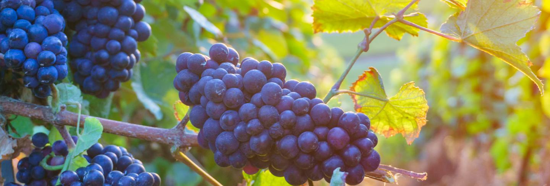 Close up vine grapes in champagne region in autumn harvest, reims