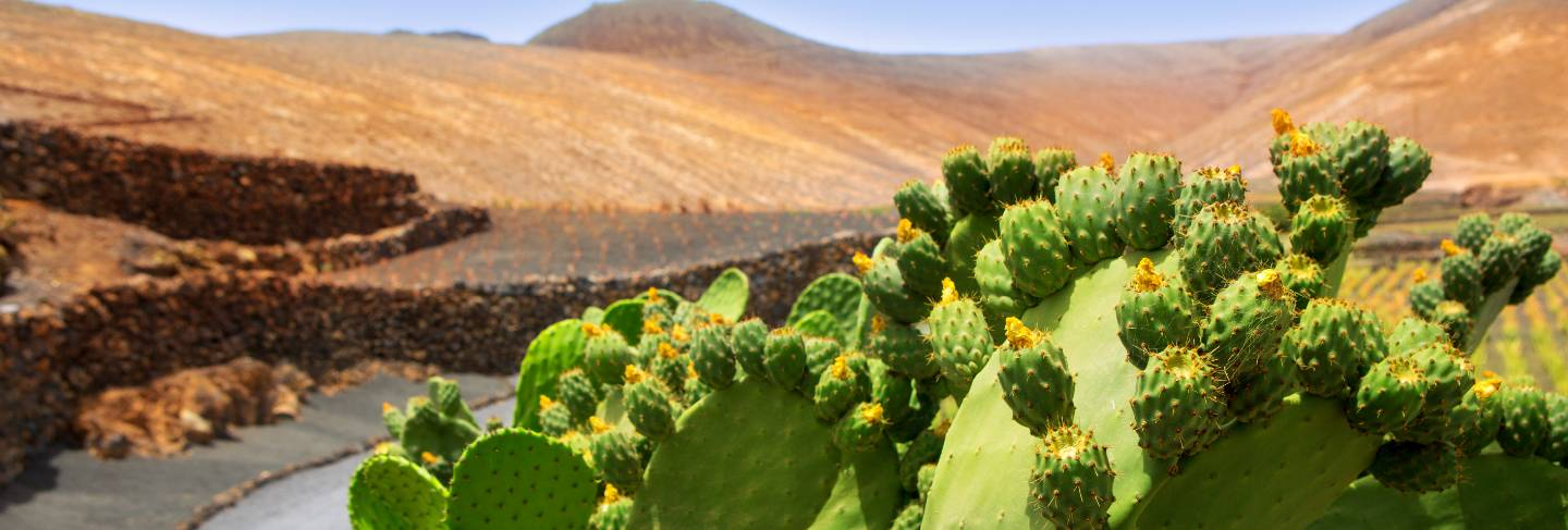 Cactus nopal in lanzarote orzola with mountains