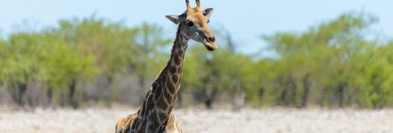 giraffe-waterhole-african-savanna
