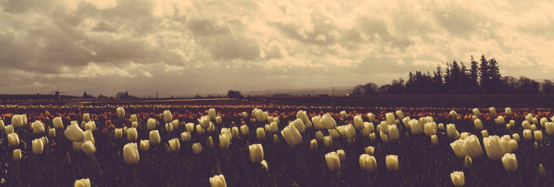Beautiful shot of a dark field of tulips under beautiful cloudy sky