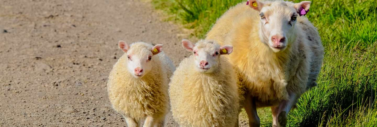 Close shot of baby sheep walking with there mother near a grassy field on a sunny day