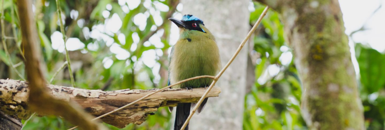 Momotus momota bird perched in a tree.