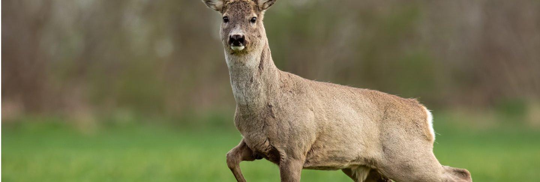 Roe deer buck in spring walking on a field