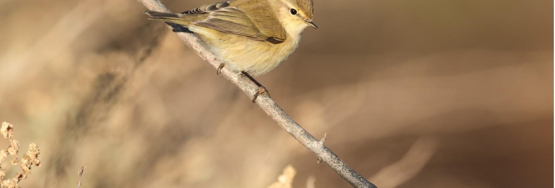 Migrant common chiffchaff phylloscopus collybita, Free Photo