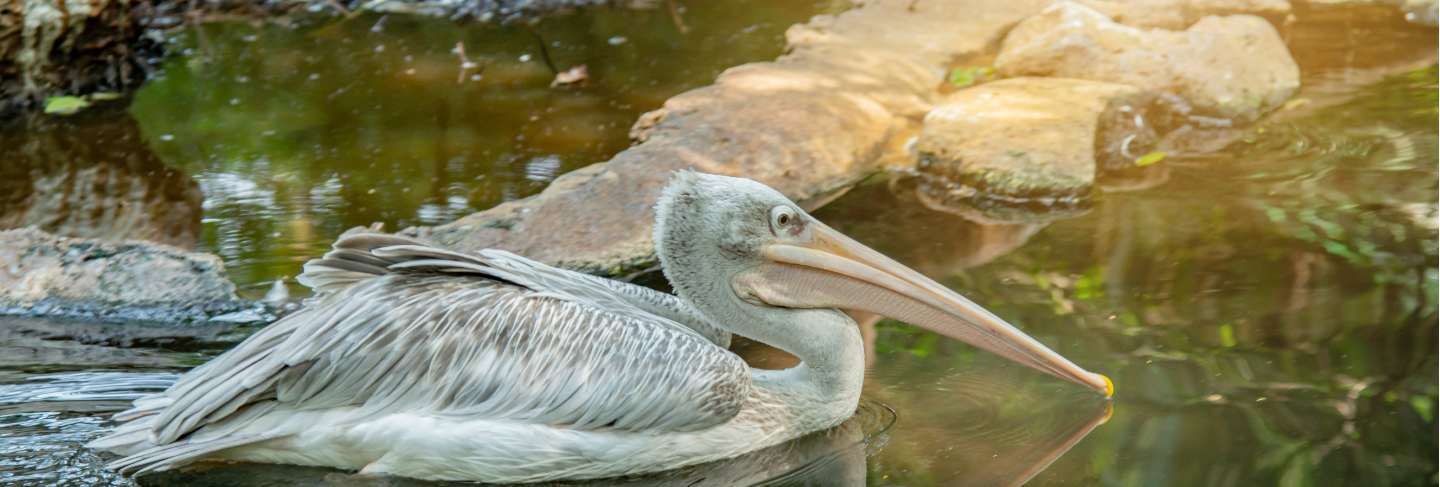 Pink backed pelican on the water in the jungle