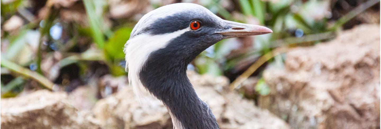 Blue african bird close-up Premium Photo