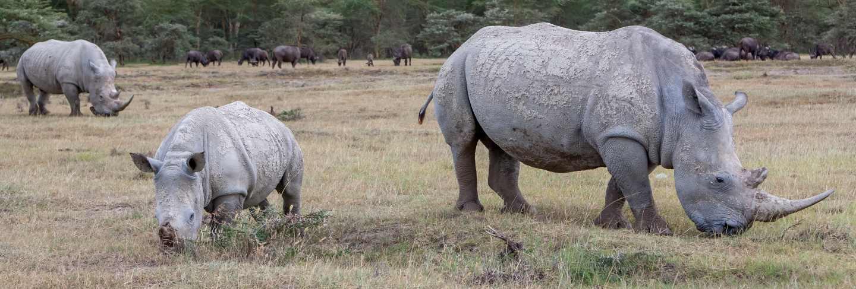 Safari - rhinos on the grass