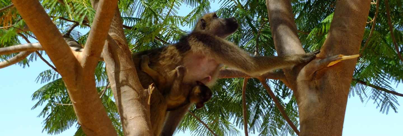 The monkey in livingstone, zimbabwe