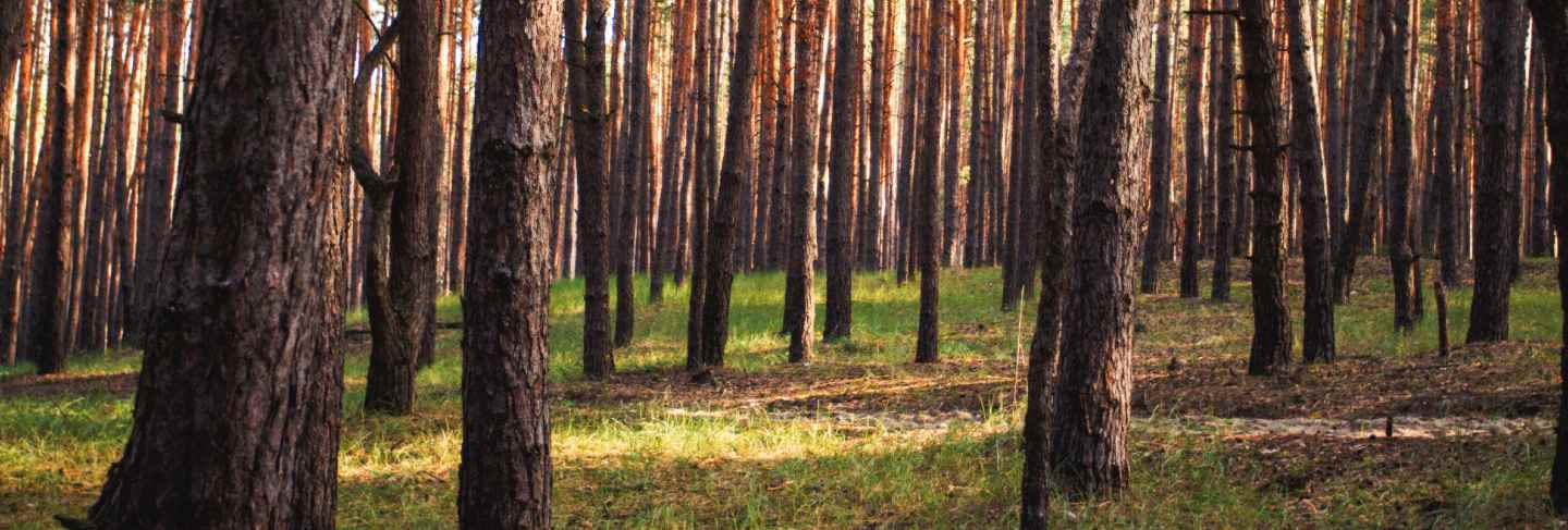 Beautiful picture of a pine forest at sunset