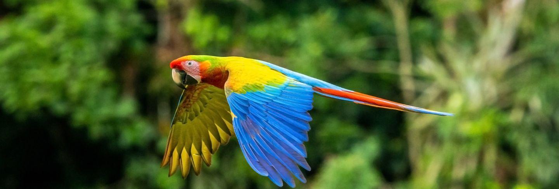 Scarlet macaw, ara macao, in tropical forest, costa rica. red bird in flight in the green jungle habitat.