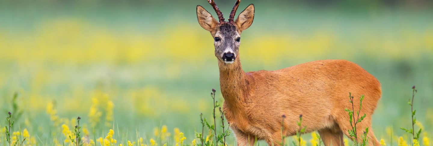 Roe deer buck facing camera on a flower covered lawn in wilderness