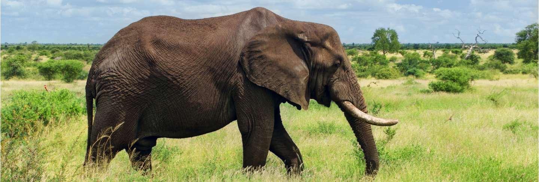 African elephant in savannah, kruger national park, south africa