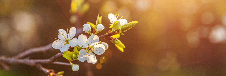 Beautiful white cherry blossom sakura flowers in spring time. inspirational natural floral blooming garden or park. flower art design.